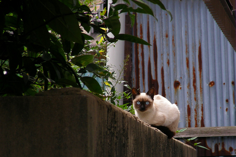 見つめるシャム猫1