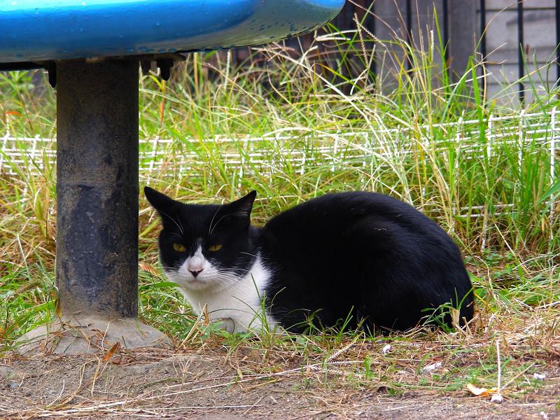 こっちを見ている公園の黒白猫1