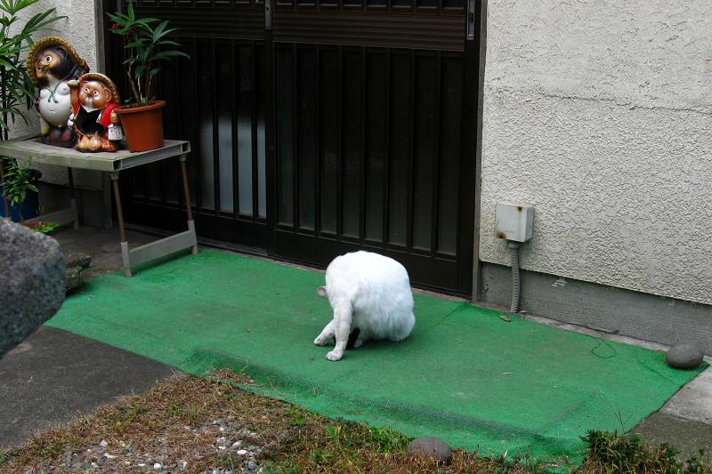 玄関前の狸の置物と白猫1
