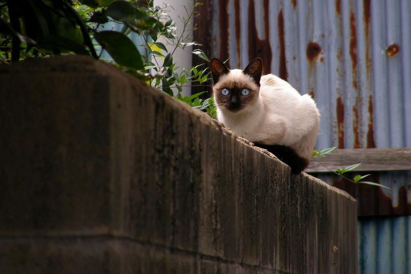 見つめるシャム猫2