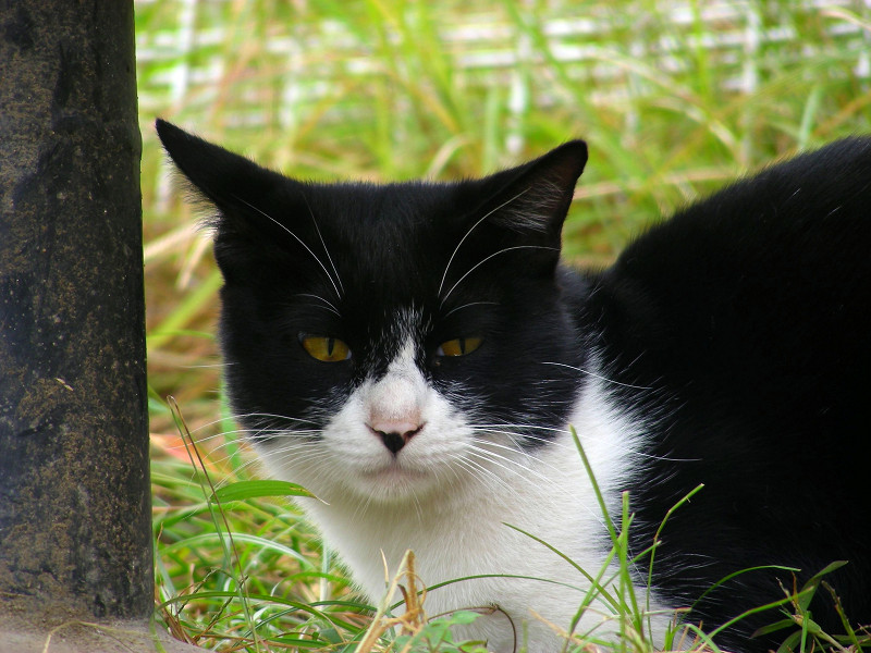 こっちを見ている公園の黒白猫2