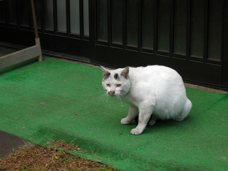 玄関前の狸の置物と白猫2