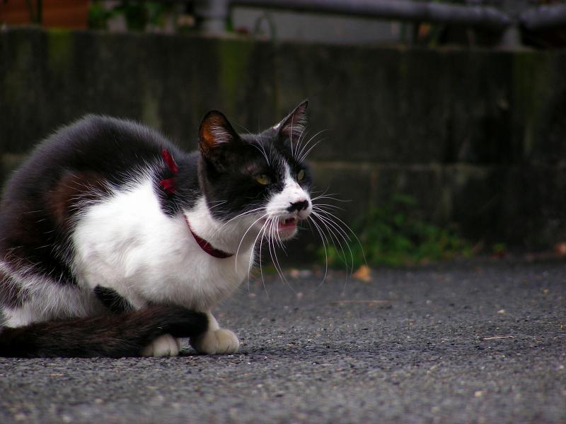 座って鳴く黒白猫3