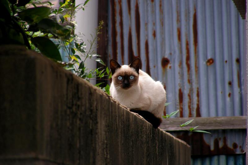 見つめるシャム猫3