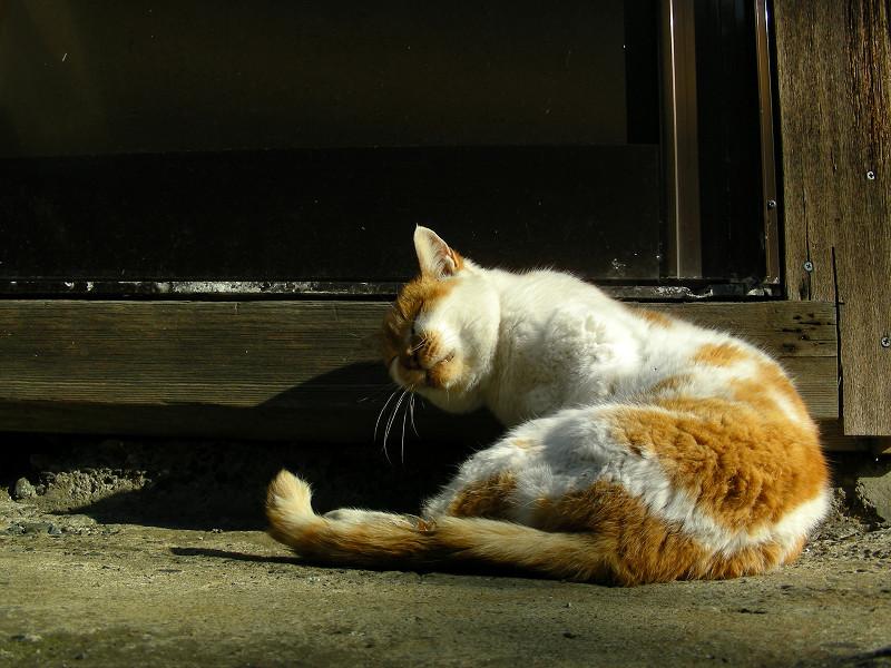 抱え込んで毛づくろいの茶白猫2
