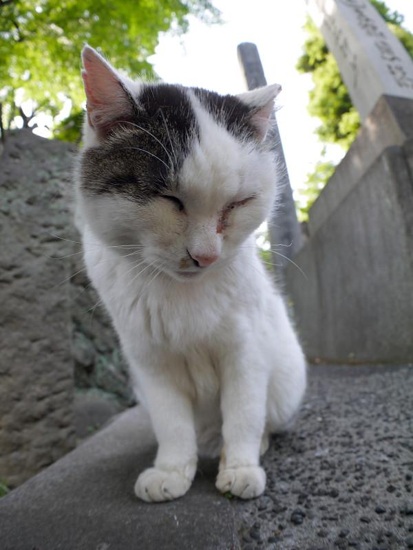 眠そうな白キジ猫のローアングル2