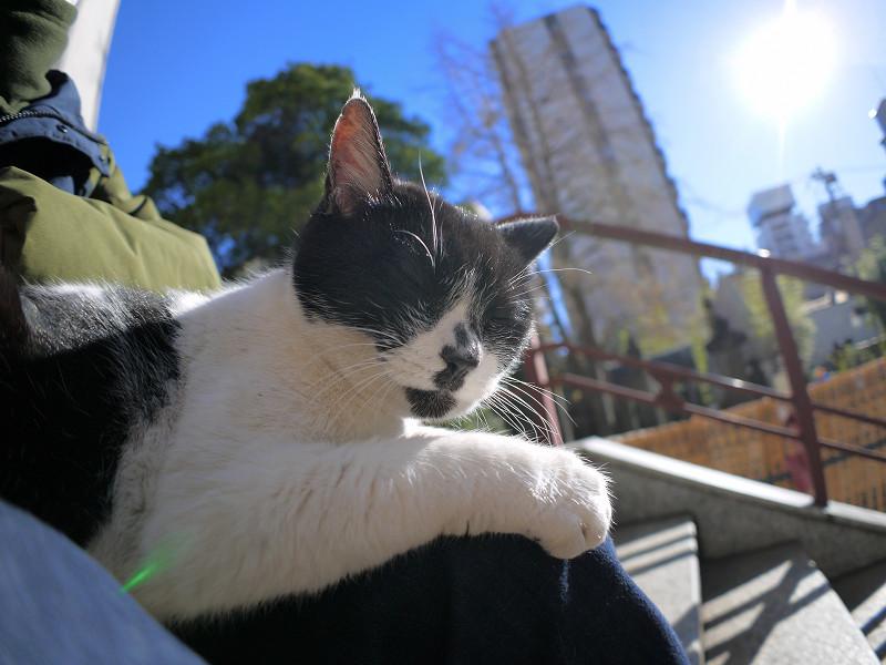 膝に上で眠りに落ちる白黒猫1