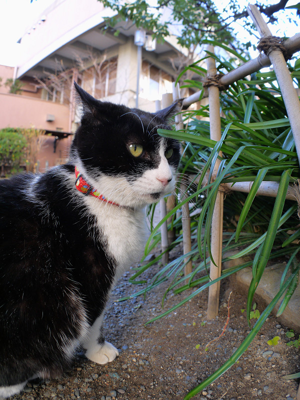 境内の黒白猫