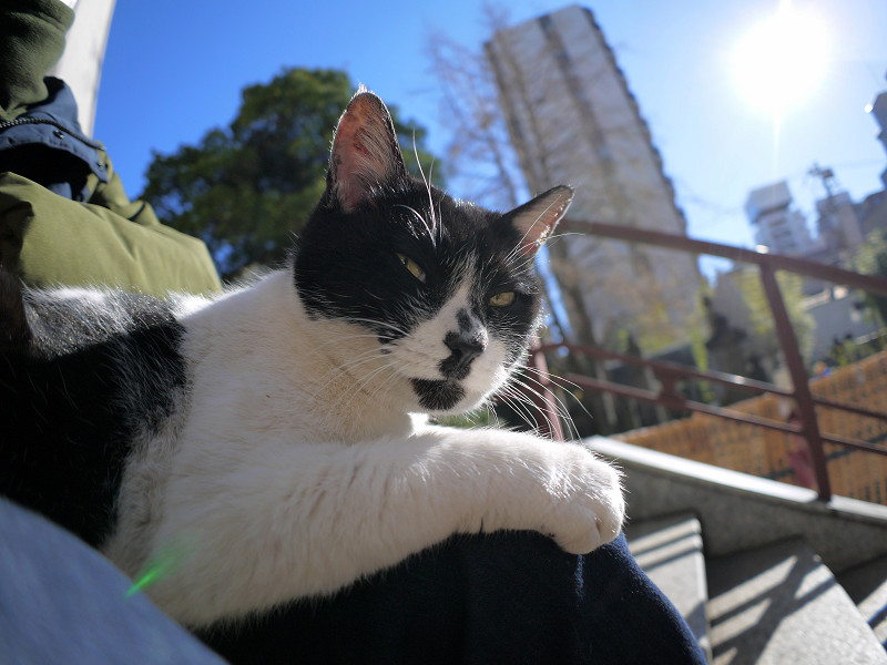 膝に上で眠りに落ちる白黒猫2