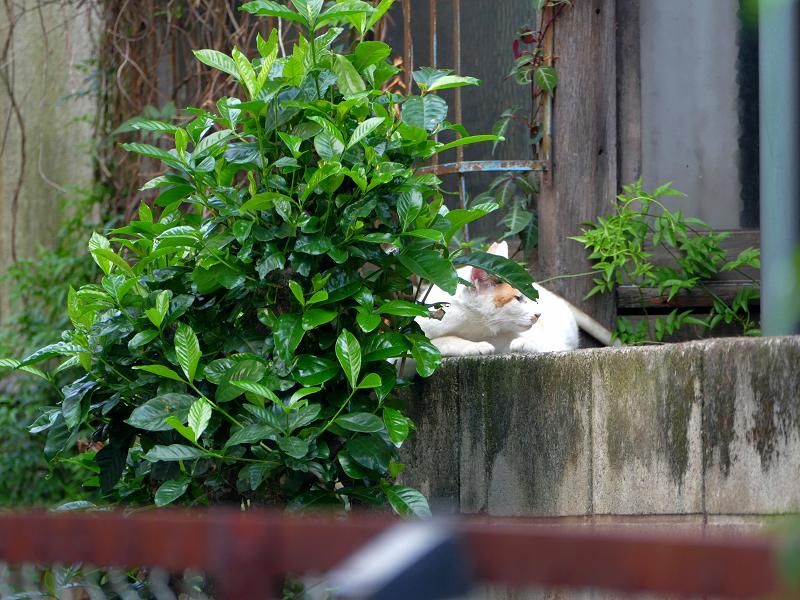 ブロック塀で寝る白系の猫1