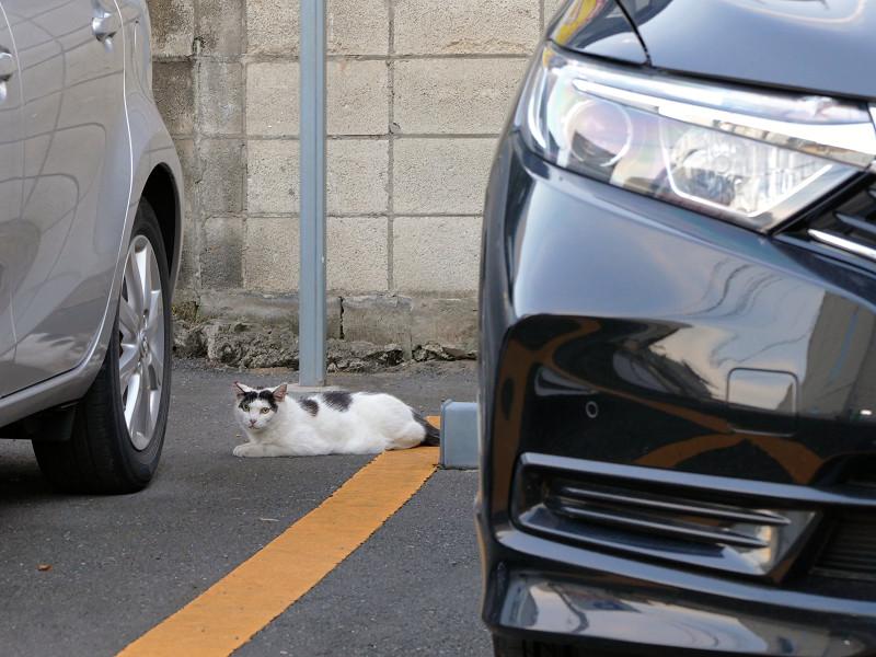 駐車場の白黒ブチ柄猫1