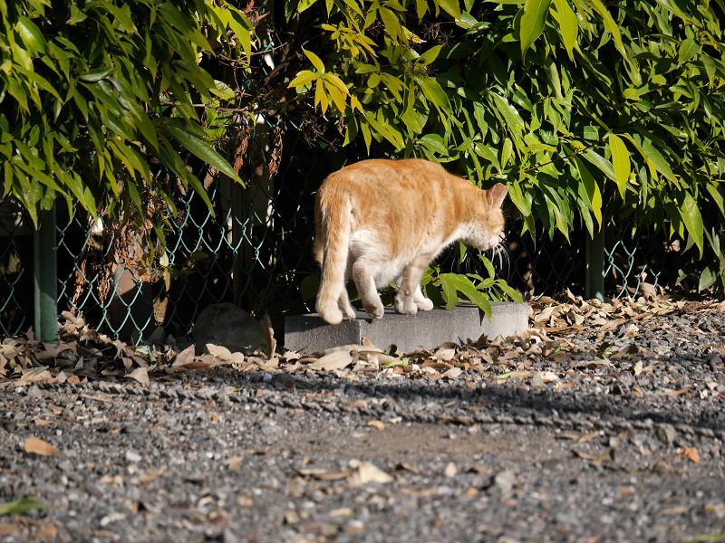 駐車場の端を歩く茶トラ猫1