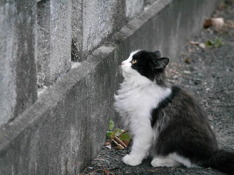 壁の前の毛長の黒白猫1