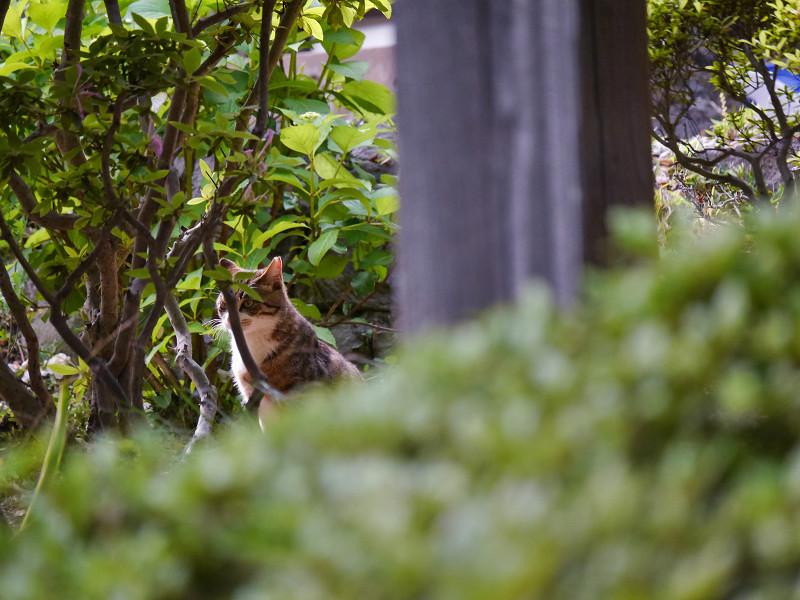 茂み中のキジ白猫