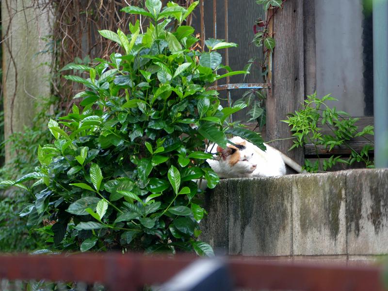 ブロック塀で寝る白系の猫2