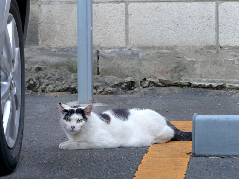 駐車場の白黒ブチ柄猫2