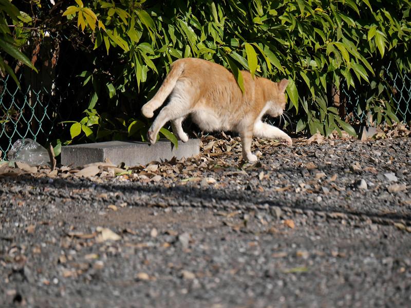 駐車場の端を歩く茶トラ猫2