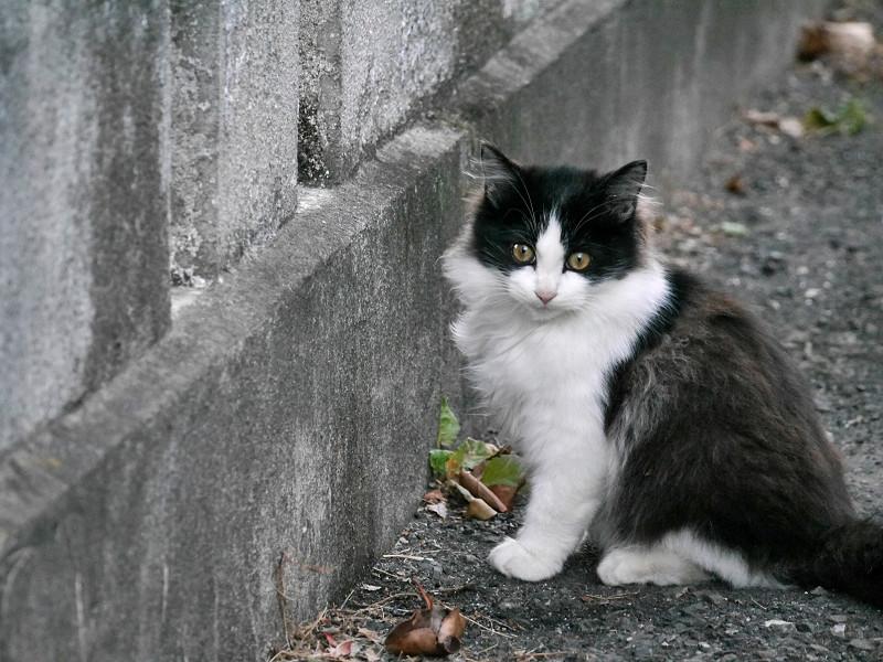 壁の前の毛長の黒白猫2