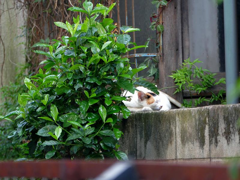 ブロック塀で寝る白系の猫3