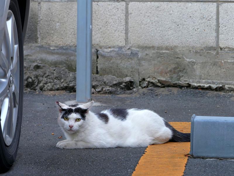 駐車場の白黒ブチ柄猫3