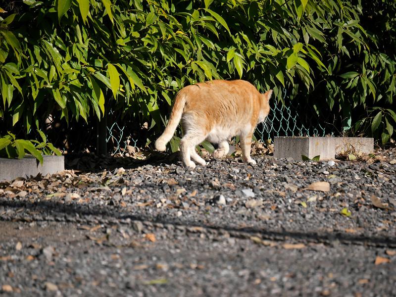 駐車場の端を歩く茶トラ猫3