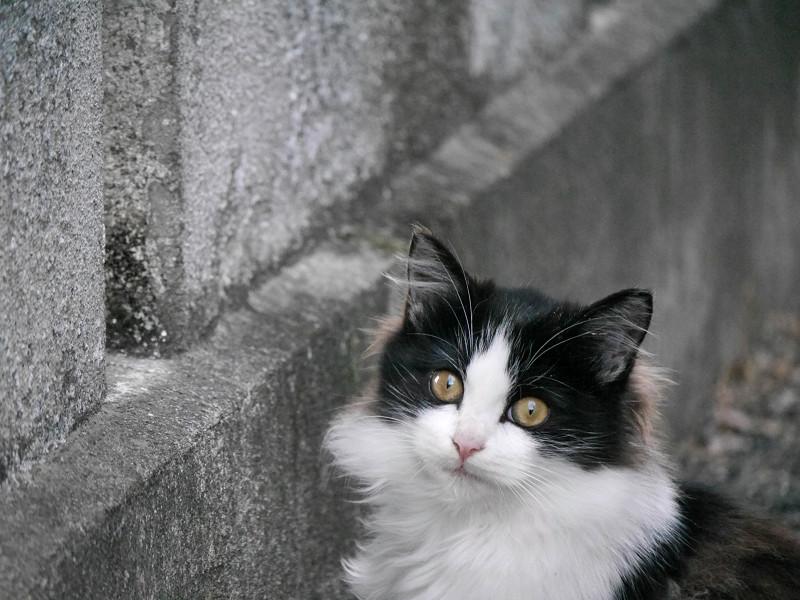 壁の前の毛長の黒白猫3