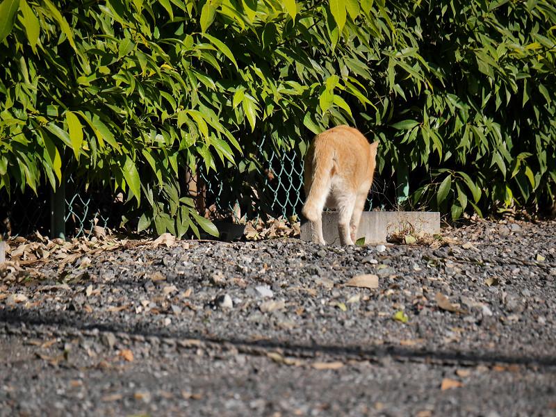 駐車場の端を歩く茶トラ猫4
