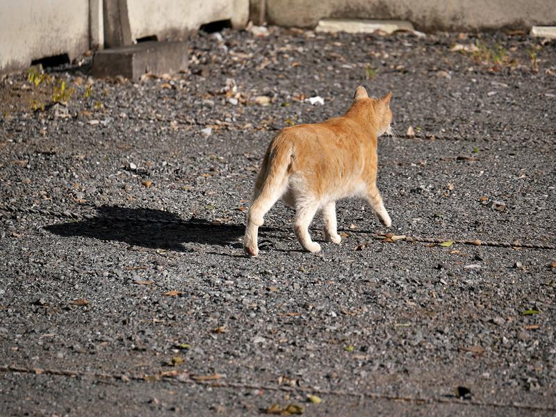 駐車場の端を歩く茶トラ猫5