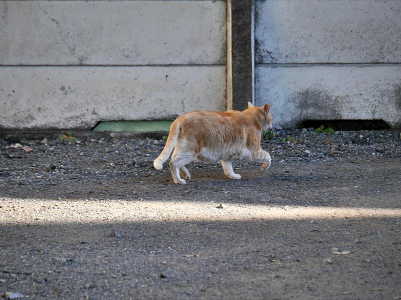 駐車場の端を歩く茶トラ猫6