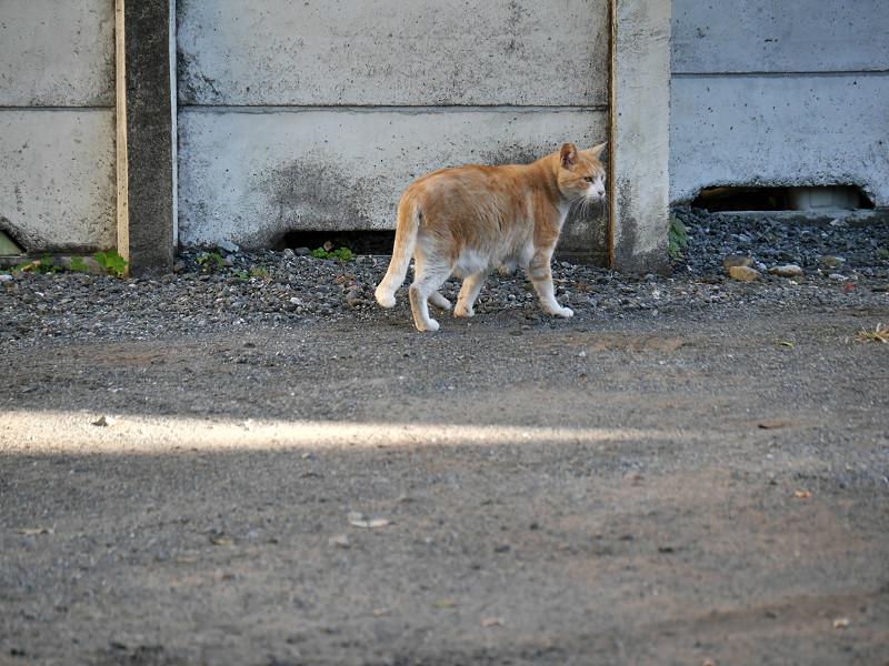 駐車場の端を歩く茶トラ猫7