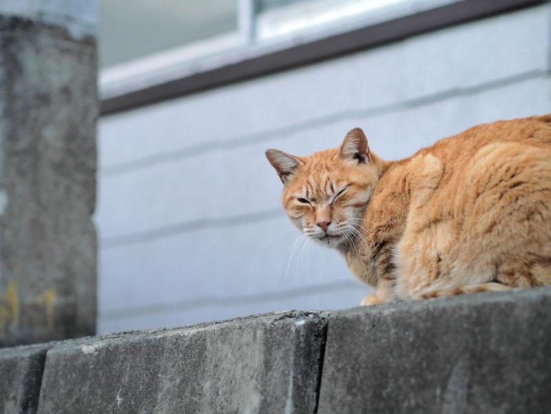 斜め後ろを見ている茶トラ猫1