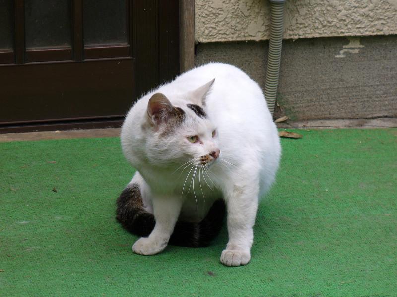 カメラ目線の玄関前白猫1