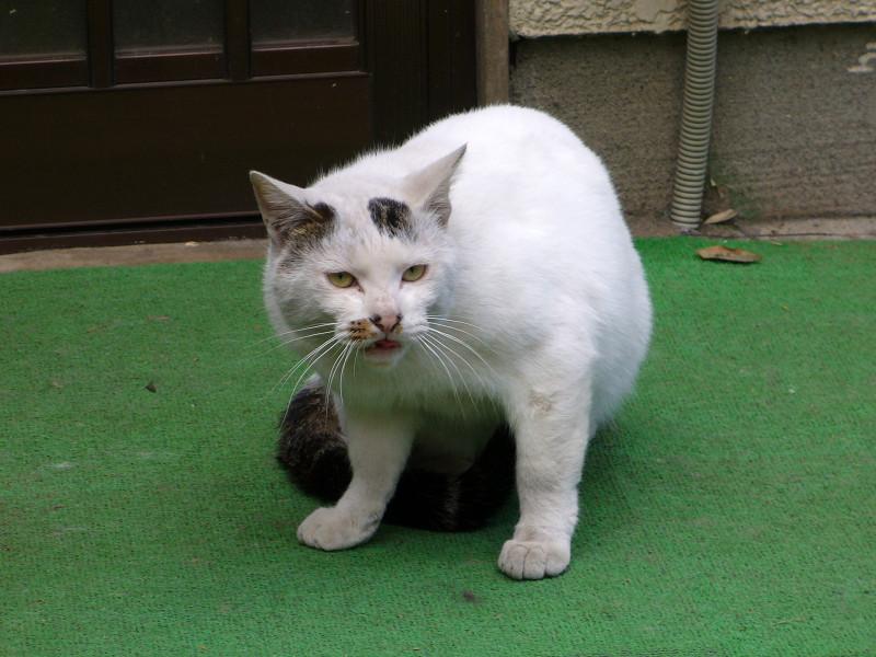 カメラ目線の玄関前白猫2