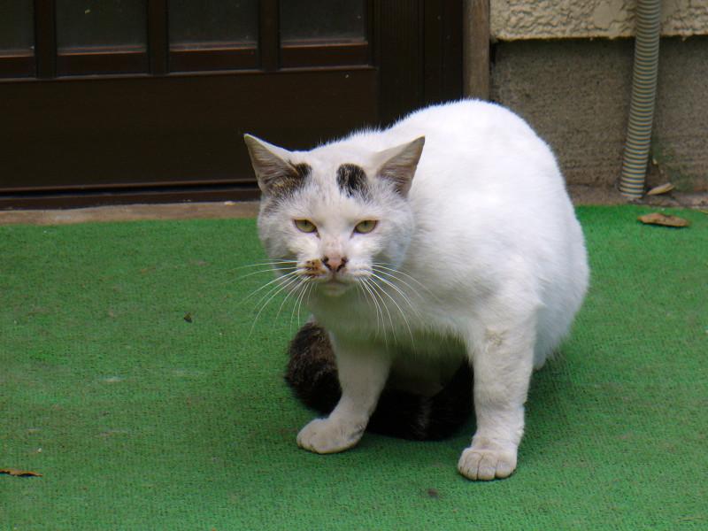 カメラ目線の玄関前白猫3