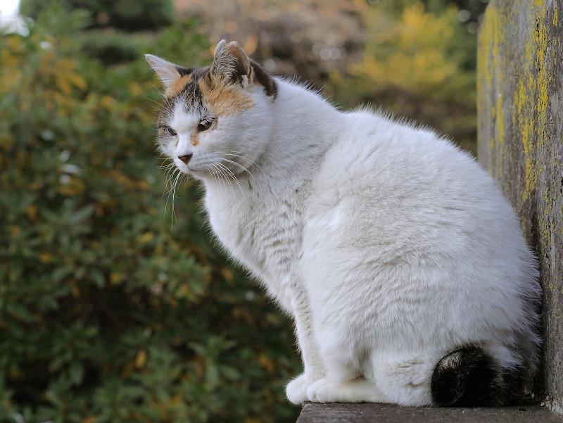 ふっくらしてる白三毛猫1