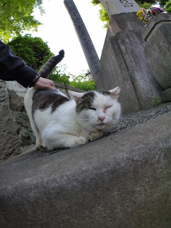 腰を触られて倒れる白キジ猫1