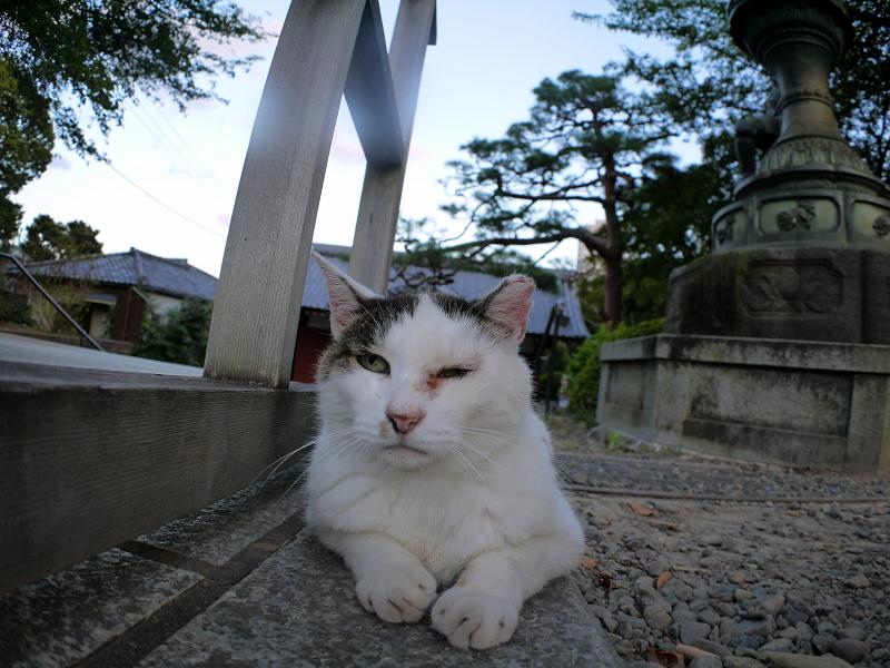 参道で腹ばう白キジ猫1