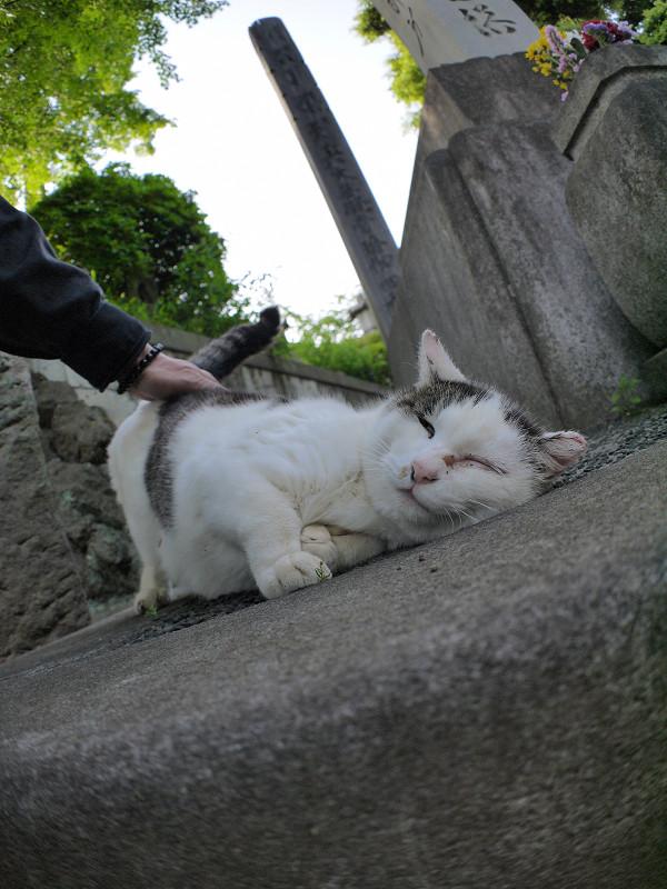 腰を触られて倒れる白キジ猫2