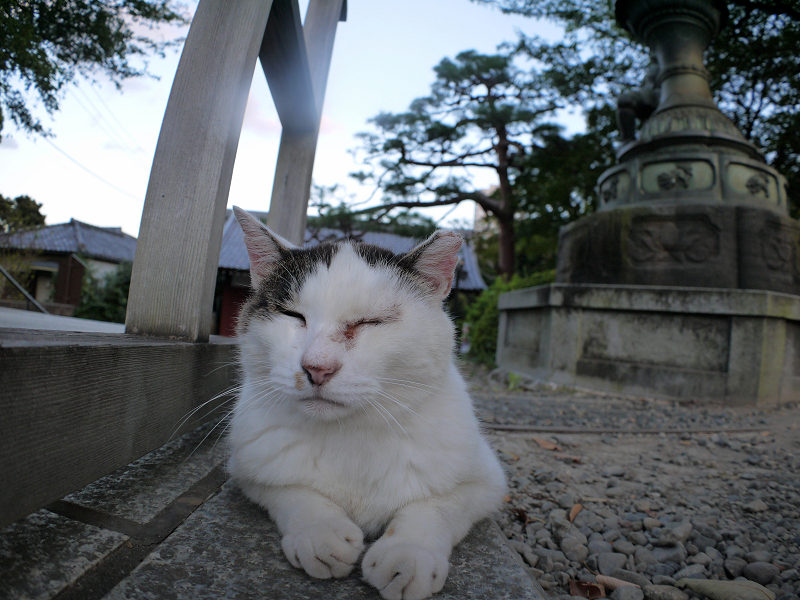 参道で腹ばう白キジ猫2