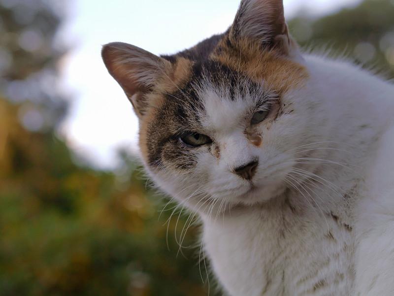 ふっくらしてる白三毛猫3