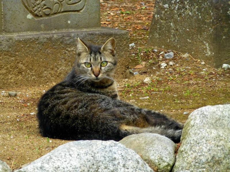 キジトラ猫の後ろ姿2