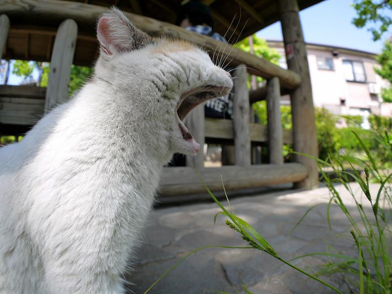 大欠伸する白三毛猫2