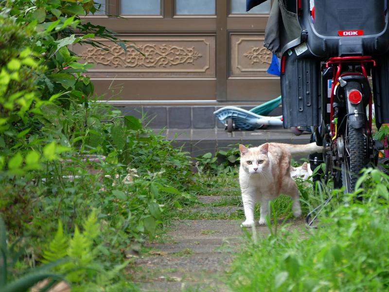 細い玄関道の猫たち2