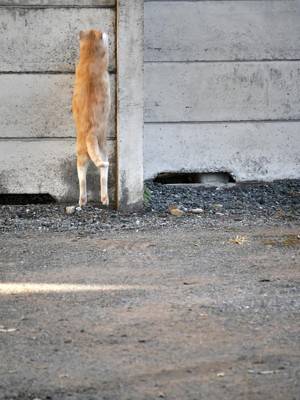 塀に飛び上がる茶トラ猫2
