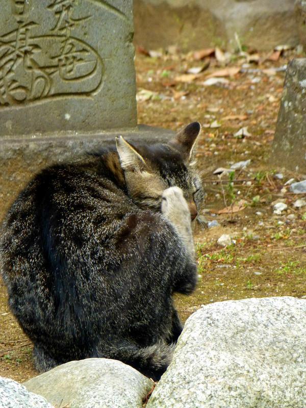 キジトラ猫の後ろ姿3