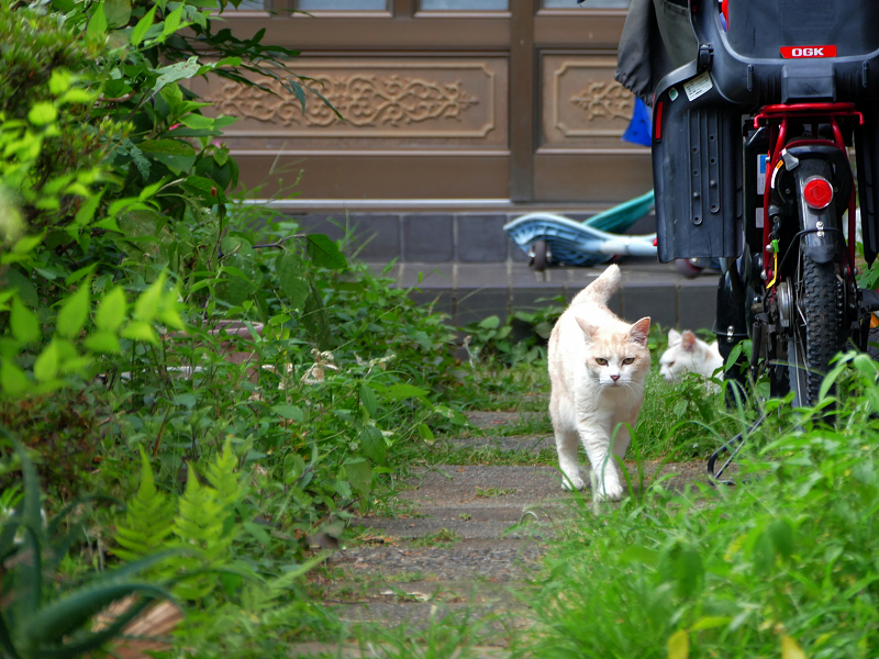 細い玄関道の猫たち3