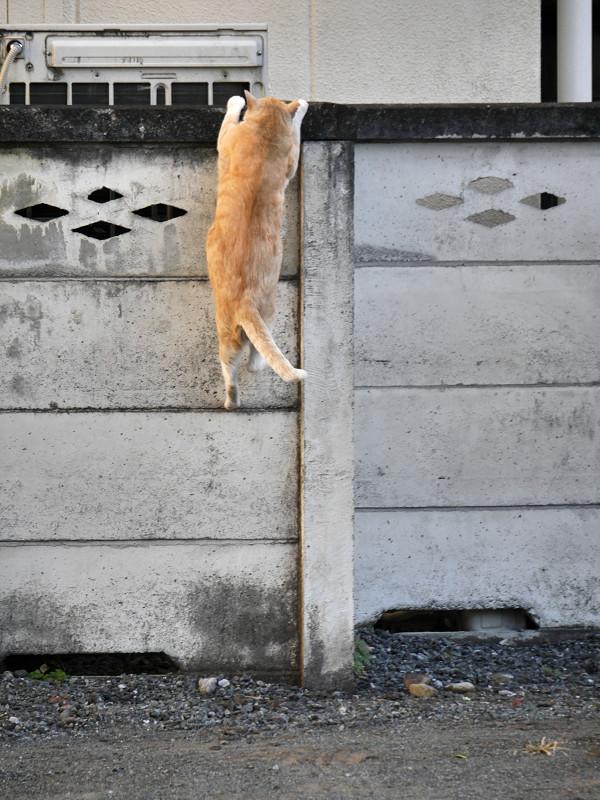 塀に飛び上がる茶トラ猫3