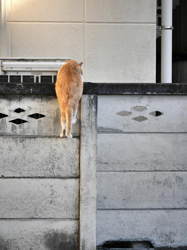 塀に飛び上がる茶トラ猫4