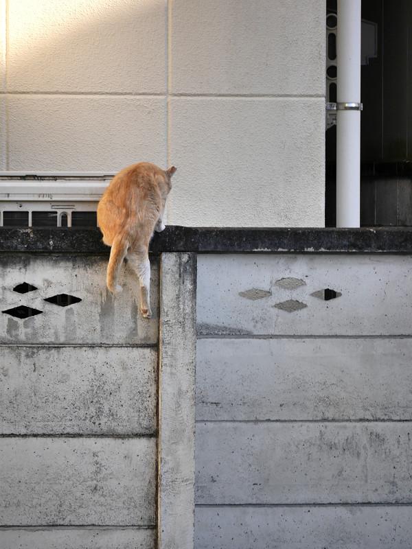 塀に飛び上がる茶トラ猫5