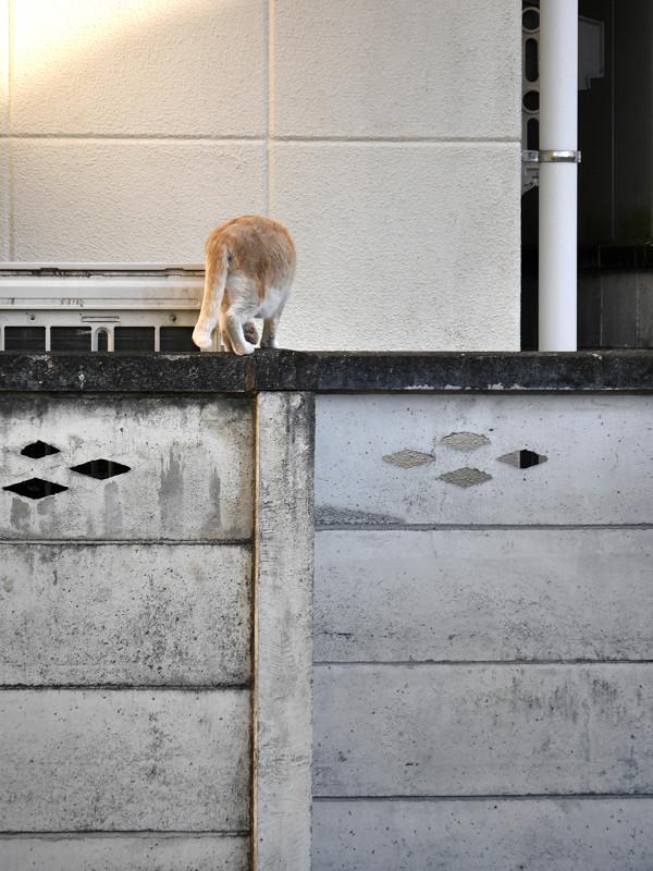 塀に飛び上がる茶トラ猫6